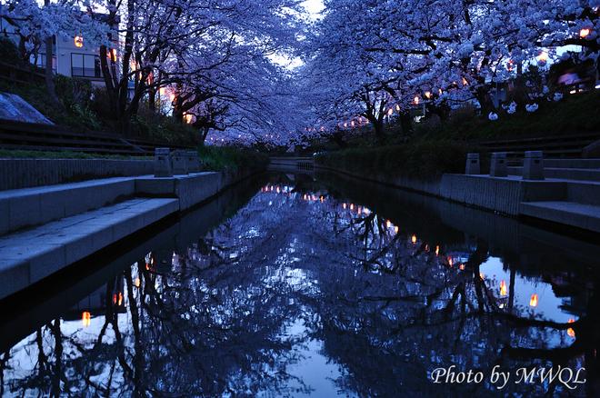 埼玉県元荒川桜祭り写真