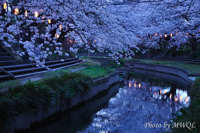 埼玉県鴻巣市元荒川桜写真